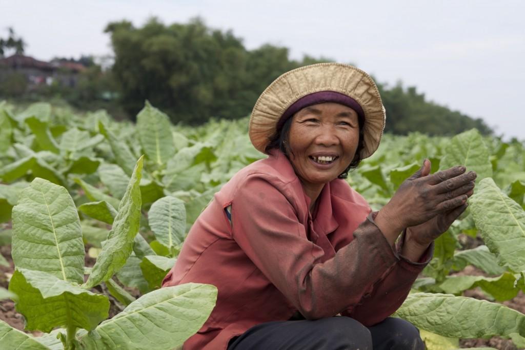 cambodian woman in tobacco field