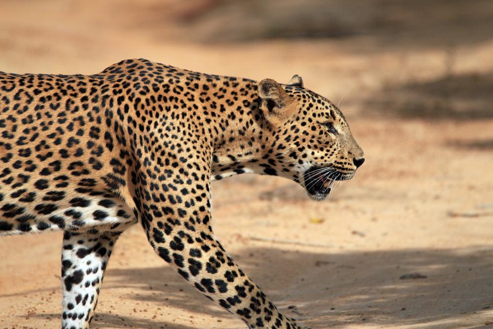 Leopardp en Yala Sri Lanka